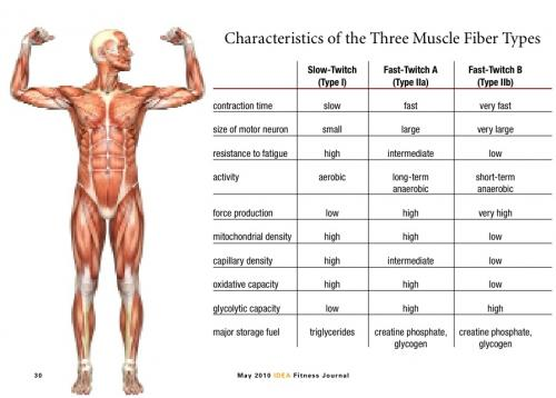 Muscle Fiber Types What We Know Protrainerlive