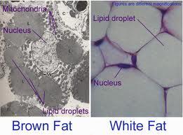 White Fat Vs. Brown Fat
